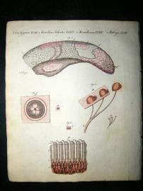Bertuch 1804 Hand Colored Print. Microscopic Observations on the Tongue